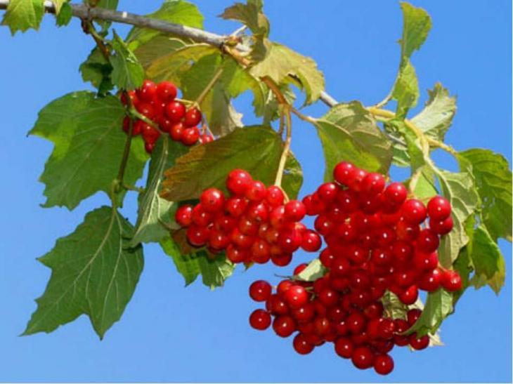 Калина – это сезонная ягода